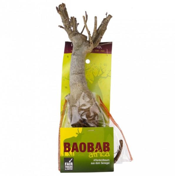 Baobab Setzling Groß mit Samen