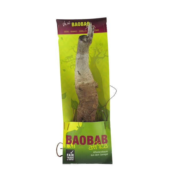 Baobab Setzling - Zimmerpflanze